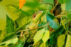 Photo green lizard, reptile, fauna. A green lizard, a scaly reptile, a terrarium, photos, exotic animals of Europe, wildlife, fauna stock photography