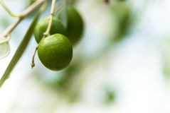 Photo of green olive tree and copy space Royalty Free Stock Photos