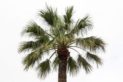 Photo of green palm tree. On white background Stock Photos