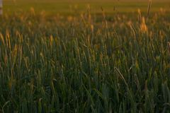 Photo of a green wheat field on a calm summer evening. Royalty Free Stock Photo