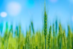 Photo green wheat field. Cultivation of grain crops.  royalty free stock photos