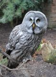 Photo of Grey and Black Owl Royalty Free Stock Photography