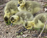 photo of a group of chicks of Canada geese Stock Image