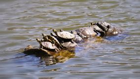 Photo of Group of Turtle on Water Royalty Free Stock Photography