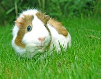Photo with a guinea pig. Cute Guinea pig in the green grass Royalty Free Stock Photos