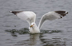 Photo of a gull found the food in the lake Stock Photos