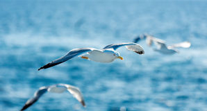 Photo of the gulls Stock Photography