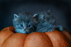 Photo on Halloween. Two gray kittens sit in pumpkin Royalty Free Stock Photo