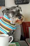 Pub dog schnauzer. Photo of a handsome miniature schnauzer dog sitting on his master's lap in a pub stock image
