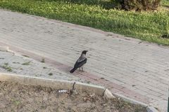 A Little Bird Walking on a Sideway stock images