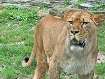 Photo haute de jeune fin de lion Photographie stock