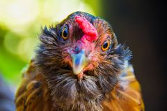 Chicken Closeup in Maui Hawaii royalty free stock photography