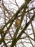 Hawfinch on the branch of the leafless tree. Photo of a hawfinch on the branch of the leafless tree stock photography
