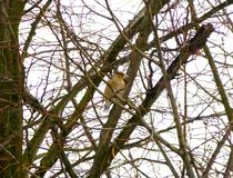 Hawfinch sitting on the branch of the leafless tree. Photo of a hawfinch sitting on the branch of the leafless tree stock image