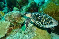 Hawksbill Turtle. This photo of Hawksbill Turtle was taken while Scuba Diving in Bonaire Stock Images