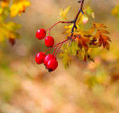 Photo Hawthorn branch with berries and leaves in autumn Royalty Free Stock Photography