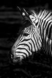 Photo of the head of a zebra. In black and white Royalty Free Stock Image