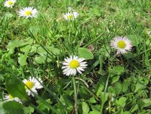 Photo of healing flower Bellis perennis. From the sunny day in spring in the garden Stock Photos