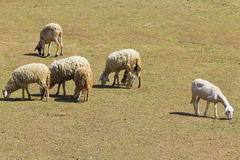 A photo of a herd of sheep Stock Photo