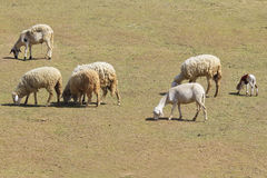 A photo of a herd of sheep Stock Photography