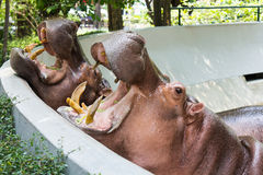 Hippopotamus in the zoo Stock Photography