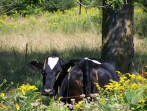 Photo Holstein parfait Photographie stock