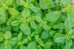 Photo of home grown Marjoram in the garden Stock Image