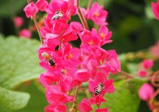 Photo of Honeybees and Pink Flowers. Beauty of Nature; Honeybees gather nectar from beautiful pink flowers in spring stock image