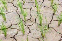 Photo horizontale de jeune riz vert de mort sur le champ de fissuration Images libres de droits