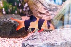 Photo horizontale des poissons de macracanthus de chromobotia Image libre de droits