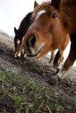 Photo horses Royalty Free Stock Photography