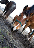 Photo horses Royalty Free Stock Image