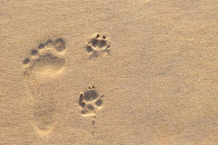 Human footprint beside dog footprint on the tropical beach. Photo of human footprint beside dog footprint on the tropical beach royalty free stock image