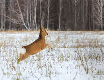Photo hunting for deer (Capreolus). Royalty Free Stock Images