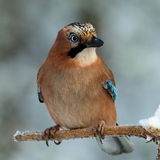 Photo hunting. Jay on a branch. Royalty Free Stock Image