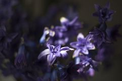 Photo of Hyacinth with the Helios 44-2. A little delicate flowers from my dreams that I photographed with the Helios 44-2 stock image