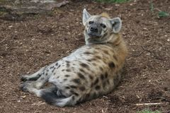 Hyena in the Saint Louis Zoo. This is a photo of a hyena taken at the Saint Louis Zoo in Missouri while I was on vacation May 2016 Royalty Free Stock Photos