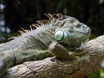 Iguana on a tree. Photo of an iguana on a tree. Lizard resting Stock Image