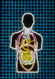 Photo-illustration of a Human Body. With internal organs stock photography