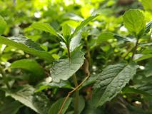 Green leaves of mint plant royalty free stock image