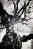 Photo infrarouge d'un arbre de bouleau photos libres de droits
