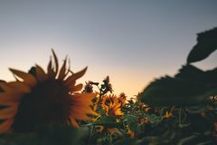 Into a field of sunflowers Stock Photography