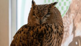 An angry and irritated owl royalty free stock photography