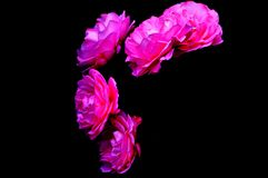 Isolated beautiful pink flowers on black background stock images