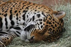 Sleeping Jaguar in the Phoenix Zoo. This is a photo of a jaguar, also call onca in South America, taken at the Phoenix Zoo in Arizona while I was on vacation Stock Image