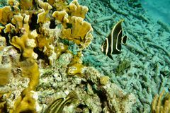 Juvenile French Angle Fish. This photo of Juvenile French Angle Fish was taken while Scuba Diving in Bonaire Royalty Free Stock Images
