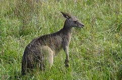 Photo of a kangaroo Stock Images