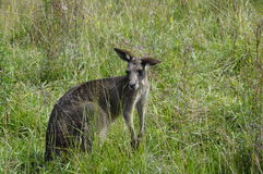 Photo of a kangaroo Royalty Free Stock Photos