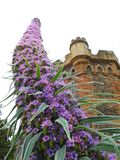 Kent country castle home with tall spiky climbing pride of madeira plant flowers. Photo of a kent country castle manor home with beautiful purple pride of royalty free stock photos