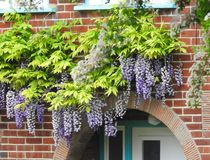 Kent country cottage home with trailing climbing wisteria plant flowers arch porch doorway stock image
